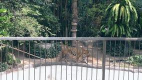 El tigre grande elegante camina orgulloso debajo de las altas palmas verdes metrajes
