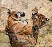El tigre grande nada en el lago en un día caliente, Tailandia Foto de archivo libre de regalías