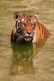 El tigre grande nada en el lago en un día caliente, Tailandia Imágenes de archivo libres de regalías