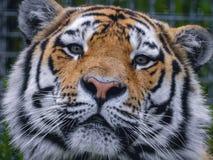 El tigre hace que el suyo se cierre para arriba Foto de archivo libre de regalías