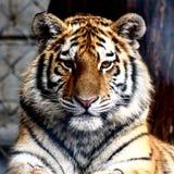 El tigre le mira imagenes de archivo