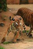 El tigre malayo en--se mueve Fotografía de archivo