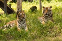 El tigre, parque zoológico, árbol, hambriento, observa, corre, cazador, Fotos de archivo