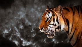 El tigre salvaje que mira, alista para cazar, vista lateral panorámico Imagenes de archivo