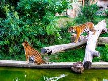 El tigre se está acercando al otro tigre Dos tigres imagenes de archivo