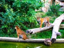El tigre se est? acercando al otro tigre Dos tigres fotos de archivo