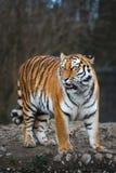 El tigre siberiano foto de archivo