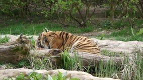 El tigre siberiano mastica en presa metrajes