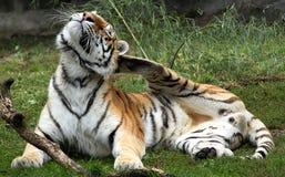 El tigre siberiano tiene un picor Fotos de archivo