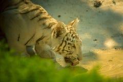 el tigre solamente en color bebe el agua en el parque zoológico en verano imágenes de archivo libres de regalías