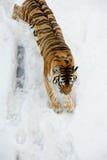 El tigre viene abajo de la montaña cubierta por la nieve Imagen de archivo libre de regalías