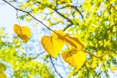 El tilo amarillo se va en una rama, retroiluminada Fotografía de archivo