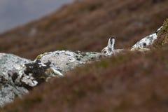 El timidus del Lepus de las liebres de la montaña en la sentada y mirar fijamente de la muda de la primavera cerca sube en los cu Fotografía de archivo
