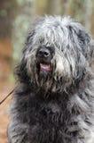 El tipo mullido gris grande perro del perro pastor con la cubierta del pelo observa foto de archivo libre de regalías