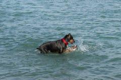 El tiranizar canino en una charca de la retención del parque del perro Fotografía de archivo
