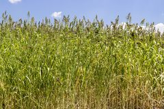 El tiro ancho delantero del trigo planta listo para cosechar con la luz de la tarde fotografía de archivo libre de regalías