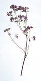 El tiro del estudio de la hierba secada del orégano solated en el fondo blanco Imagen de archivo libre de regalías