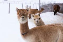 El tiro horizontal medio de divertido broncea alpaca con el salmonete pesado imágenes de archivo libres de regalías