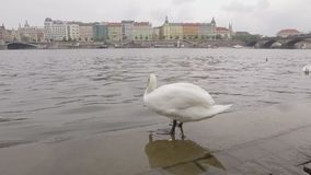 El tiro móvil del cisne en el muelle de la ciudad en Praga, pájaro está saltando al agua del río de Moldava metrajes