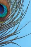 Tiro de la macro de la pluma del pavo real Fotografía de archivo