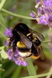 El tiro macro manosea el acoplamiento de las abejas Imagen de archivo