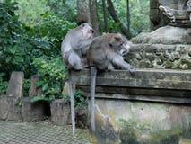 El tiro medio del dinero adulto prepara otro mono adulto en santuario del mono fotografía de archivo
