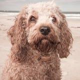 El tiro principal y de los hombros del retrato de rey arrogante lindo Charles Spaniel cruzó con el perro de caniche imagen de archivo libre de regalías