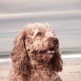 El tiro principal y de los hombros del retrato de rey arrogante lindo Charles Spaniel cruzó con el perro de caniche fotos de archivo libres de regalías