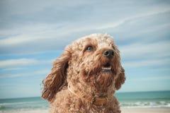El tiro principal y de los hombros del retrato de rey arrogante lindo Charles Spaniel cruzó con el perro de caniche fotos de archivo