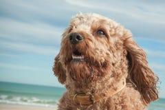 El tiro principal y de los hombros del retrato de rey arrogante lindo Charles Spaniel cruzó con el perro de caniche fotografía de archivo libre de regalías
