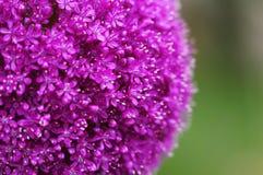 El tiro redondo brillante de la macro de la flor del alium imagenes de archivo