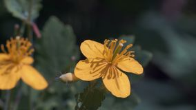 El tiroteo macro, pequeño escarabajo se sienta en la flor amarilla después vuela a otra flor almacen de metraje de vídeo