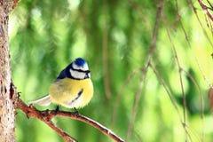 El tit azul se está encaramando en una rama de árbol Foto de archivo
