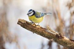 El tit azul se sienta en una rama sin la corteza foto de archivo libre de regalías