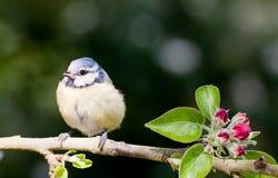 El Tit de azules cielos se encaramó en manzano en primavera Fotografía de archivo