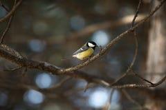 El Tit se sienta en rama en la primavera soleada, día de verano imagen de archivo