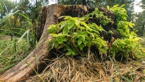 El tocón de árbol viejo se coloca solamente en el bosque en verano fotografía de archivo