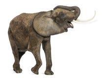 El tocar la trompeta del elefante africano, pareciendo feliz Imagen de archivo libre de regalías