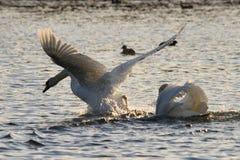 El tomar del cisne de Foto de archivo