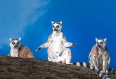 el tomar el sol Anillo-atado de los lémures Imagen de archivo