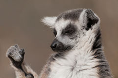 El tomar el sol atado anillo del lémur Imagen de archivo libre de regalías