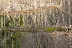 El tomar el sol de las tortugas Fotografía de archivo