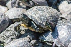 El tomar el sol de las tortugas Foto de archivo libre de regalías