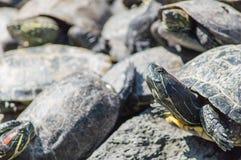 El tomar el sol de las tortugas Imagen de archivo libre de regalías