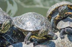 El tomar el sol de las tortugas Fotos de archivo libres de regalías