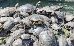 El tomar el sol de las tortugas Imagen de archivo