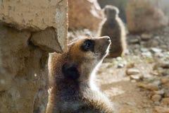 El tomar el sol de Meerkat Imagen de archivo libre de regalías