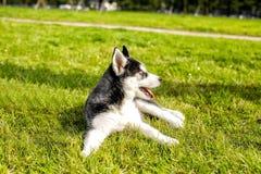 El tomar el sol fornido del perrito en el sol Foto de archivo