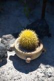 El tomar el sol amarillo minúsculo del cactus Fotos de archivo libres de regalías
