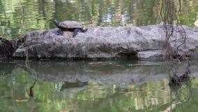 El tomar el sol de agua dulce de la tortuga o de la tortuga acuática del sol en la roca del agua en hábitat de la naturaleza almacen de video
